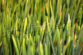 зелёная гниль