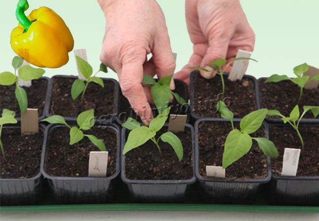 Правильно посадить рассаду перцев 13