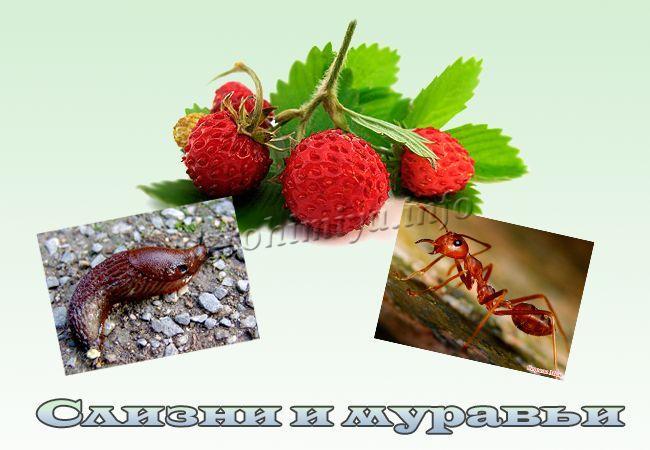 Слизни и рыжие муравьи на землянике