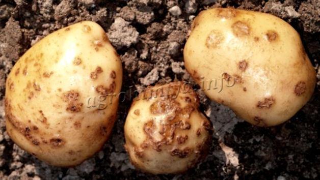 Фото парши картофеля