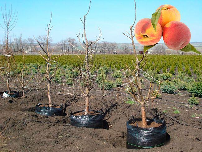 Как правильно посадить саженец персика