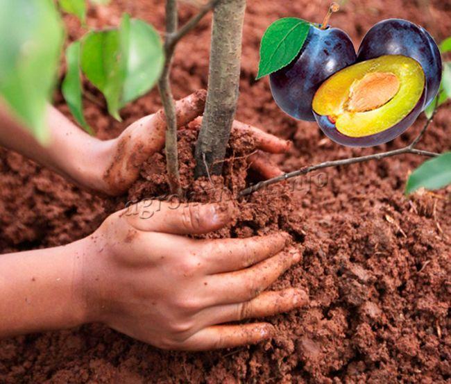 Как правильно посадить сливу весной и осенью?