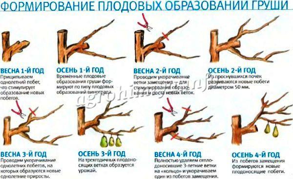 Как ухаживать за грушей