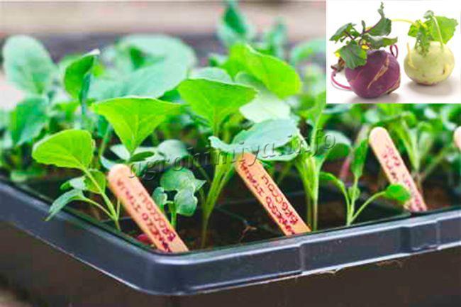 Как выращивать капусту кольраби