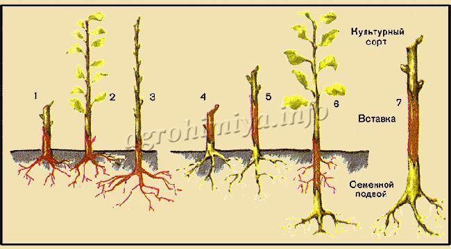 Перепрививка плодовых деревьев