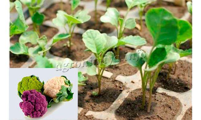 Подкормка рассады цветной капусты