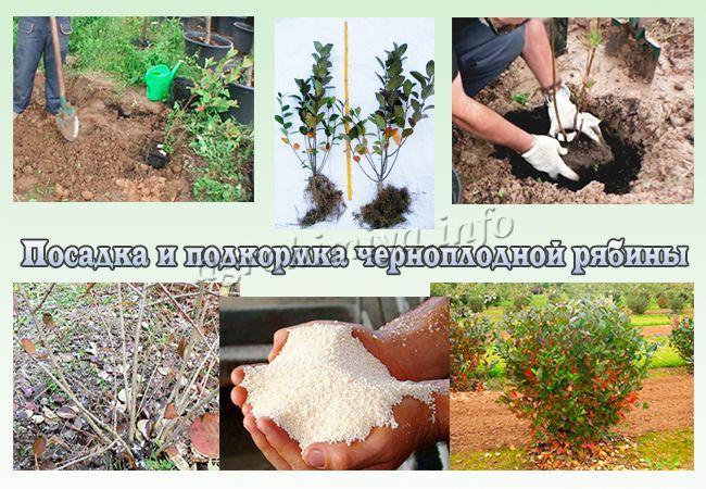 Посадка и подкормка черноплодной рябины