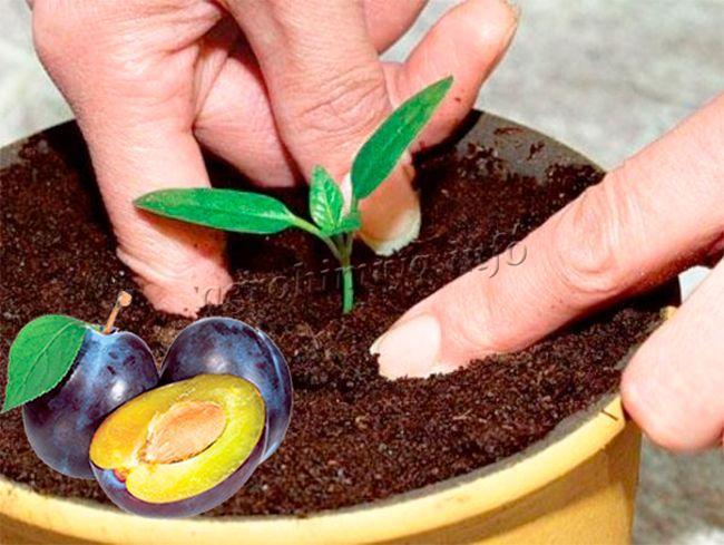 Размножение сливы семенами