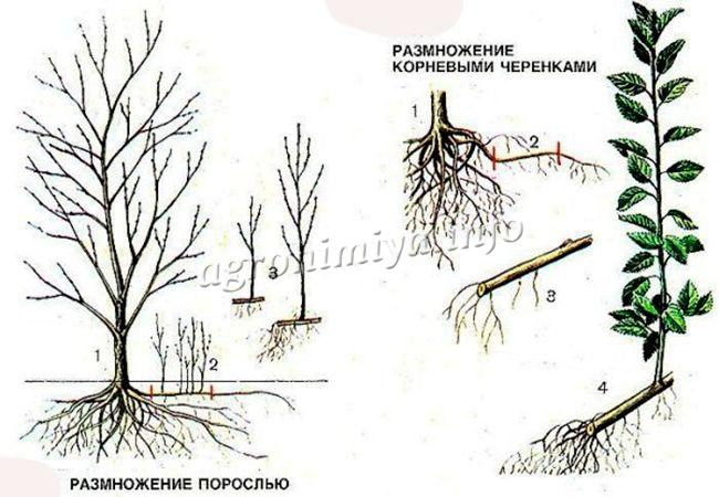 Схема размножения сливы корневыми черенками и порослью