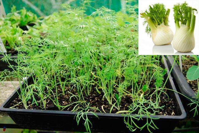 Выращивание фенхеля из семян