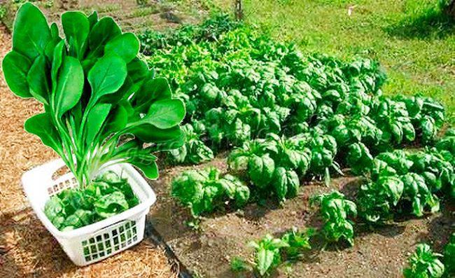 Выращивание шпината в открытом грунте 23