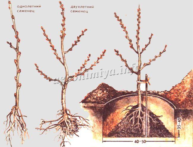 Посадка и выращивание облепихи
