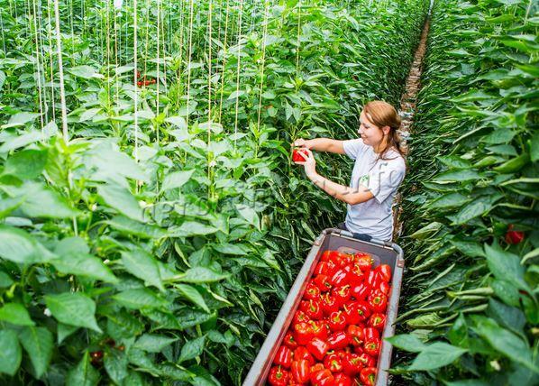Сбор урожая перца в теплице