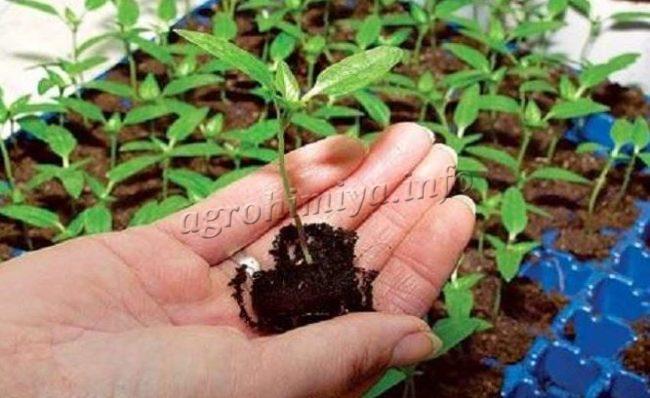 Пикирование сеянцев помидор