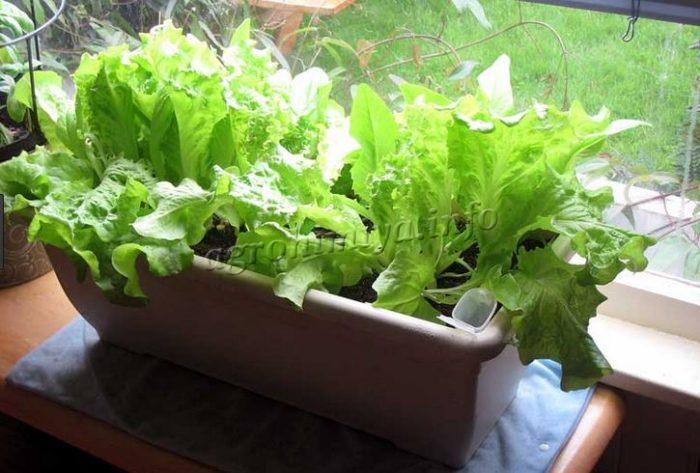 Выращивание Салата латука на подоконнике