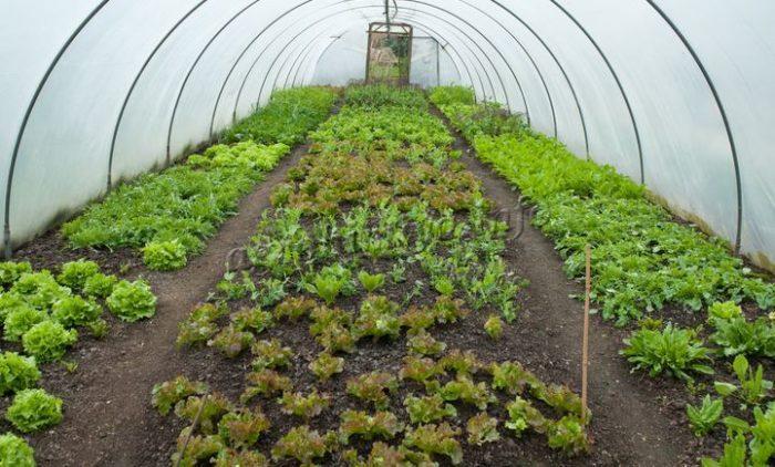 Фото выращивания салата в теплице