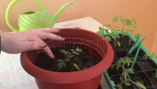 Пикирование рассады помидор