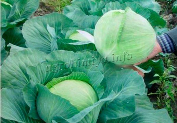 Характерный внешний вид зимнего сорта капусты