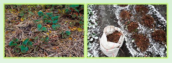 Мульчирование соломой и утепление еловыми ветками