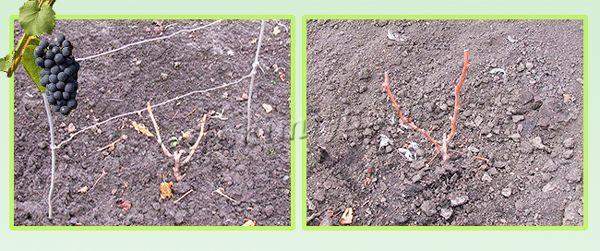 Обрезка винограда осенью после первого года вегетации