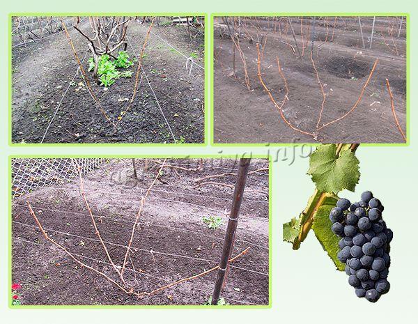 Обрезка винограда осенью после второго года вегетации
