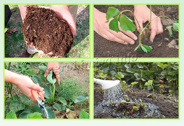 Подготовка почвы и посадка клубники осенью