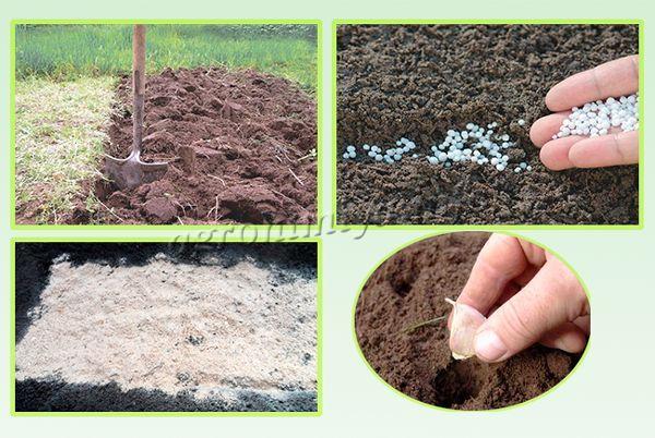 Подготовка почвы под посадку озимого чеснока
