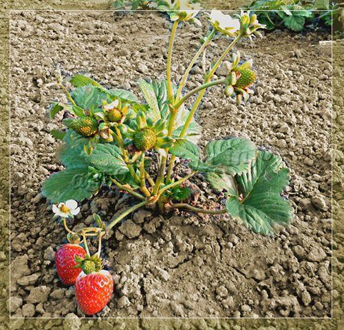 комплексное удобрение для клубники осенью