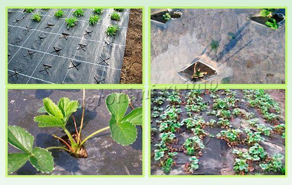 Посадка клубники осенью на агроволокно