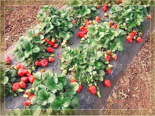посадить клубнику осенью