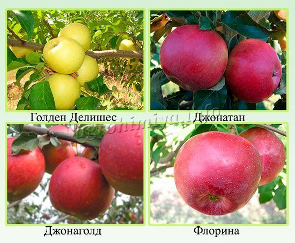 Самые популярные зимние сорта яблонь