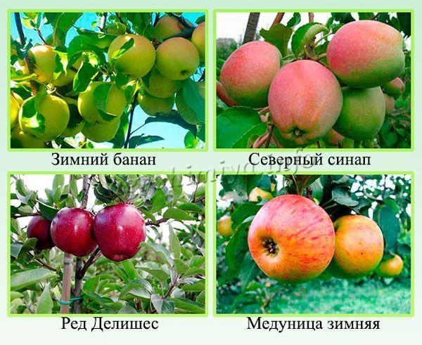 Самые урожайные зимние сорта яблонь