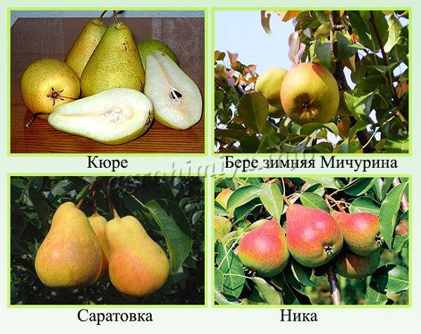 Сорта груш наиболее урожайные и востребованные