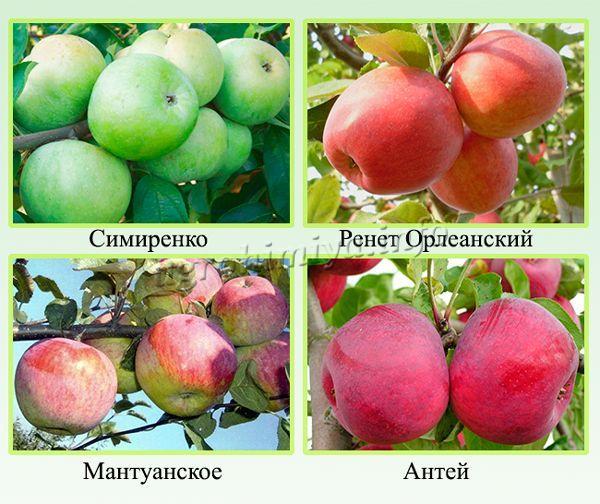 Сорт зимних яблонь по длительности хранения