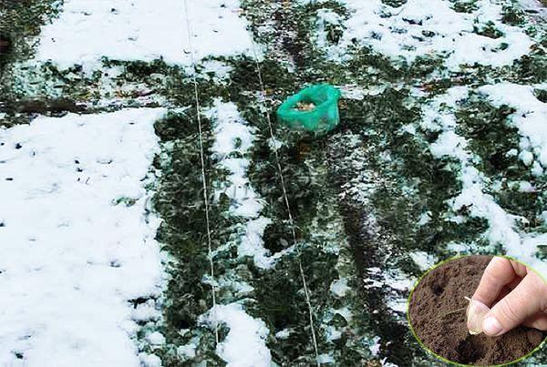 Сажать чеснок нужно до заморозков, иначе он зимой вымерзнет