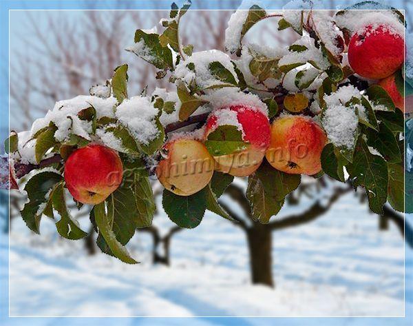 зимние сорта яблоня описание фото