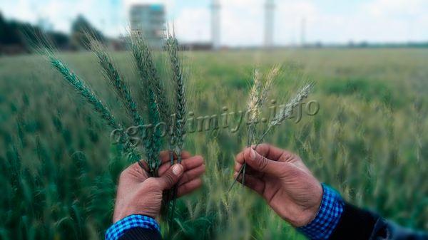 Под действием пестицидов культуры растут намного быстрее