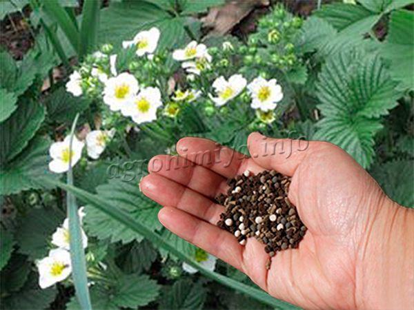 Подкормка клубника в период цветения