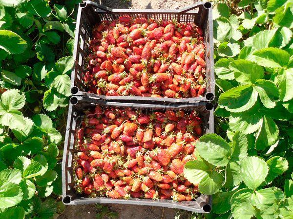 Благодаря плотности ягод их можно перевозить на значительные расстояния