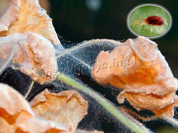 Большая колония этих вредителей способна уничтожить урожай баклажан всего за 2 недели!