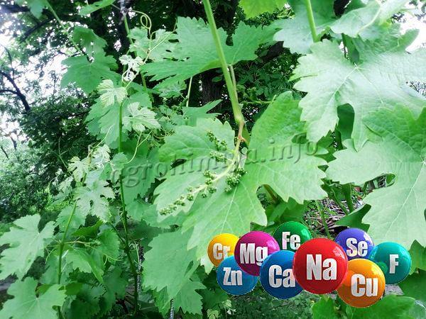 Даже если земля на огороде сама по себе очень питательная, виноград все – равно нуждается в своевременных внекорневых и корневых подкормках