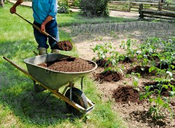 Для удобрения отдельных растений нужно применять перепревший конский навоз