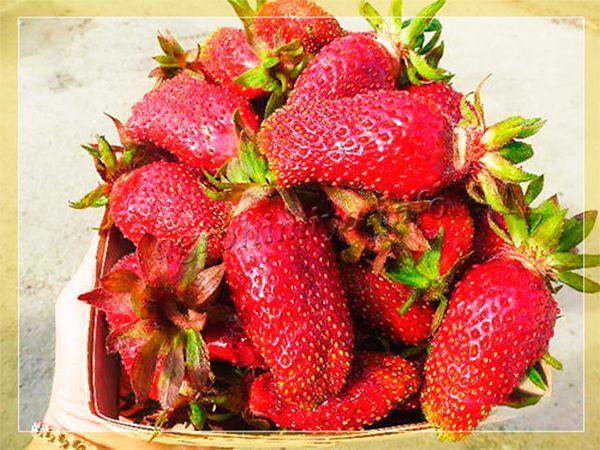 Используются ягоды для употребления в свежем виде, заморозки или консервирования