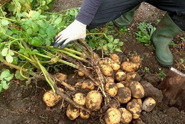 Нередко причиной пожелтения становится банальное дозревание картофеля