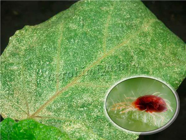 Первые признаки заражения – блеклые или обесцвеченные точки на поверхности листочков баклажан