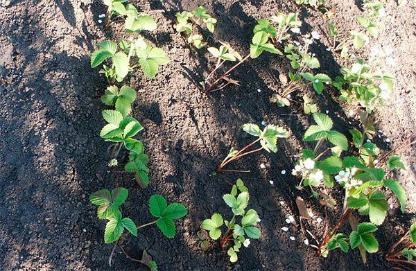 Под каждый кустик выкапывается отдельная лунка, удобряется смесью компоста и золы, если осенью почву ничем не подкармливали