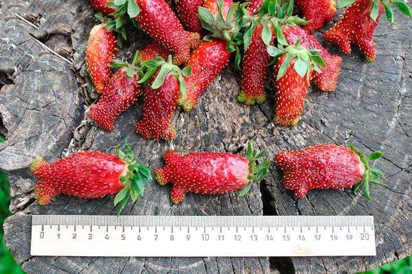 В период первого плодоношения в сезоне, каждая ягодка может достигать 6 см в длину при массе в 20-25 граммов