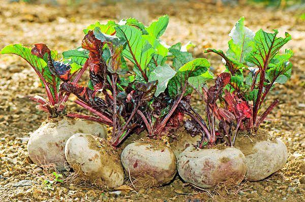 За пару недель до уборки урожая поливы прекращают полностью