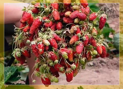 земклуника описание сорта фото отзывы садоводов
