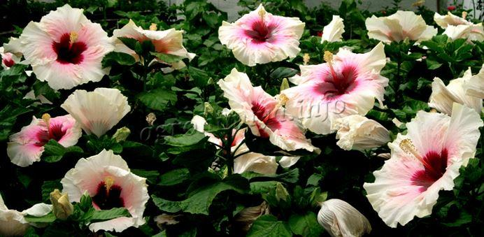 Фото Китайской розы с белыми цветами